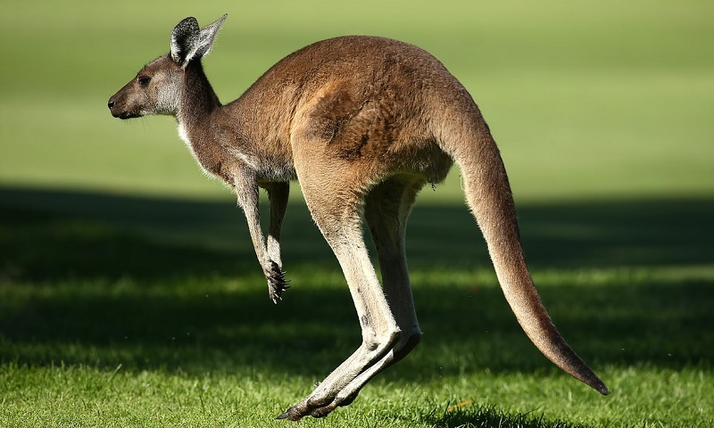 کانگوروها بزرگترین مشکل ماشین خودران ولوو در استرالیا!